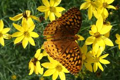 Fritillary butterfly lands to feed in a cluster of vibrant yellow flowers! royalty free stock photos