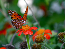 Fritillary Butterfly on Mexican Sunflower. Butterfly drinking nectar from flower Royalty Free Stock Images