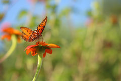 Fritillary Butterfly on orange flower. Shallow depth of field shot of fritillary butterfly on an orange Mexican sunflower.  Taken in my home garden in Wilmington Royalty Free Stock Photo