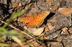 Fritillary butterfly Stock Images