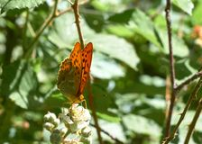 A Fritillary butterfly stock photography