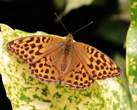 Fritillary Butterfly sitting on a variated leaf Stock Photography