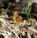 Fritillary Butterfly  stock photo