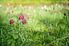 Fritillary or checkered lily Stock Images