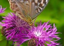Fritillary da floresta da borboleta grande - fêmea em uma flor do prado da centáurea Fotos de Stock Royalty Free