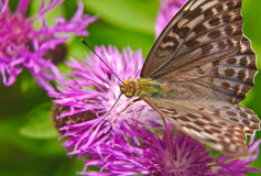 Fritillary da floresta da borboleta grande - fêmea em uma flor do prado da centáurea Imagem de Stock