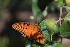 Fritillary del golfo o farfalla di passione Immagini Stock