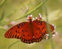 Fritillary del golfo o farfalla di passione Fotografia Stock