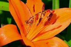 Fritillary die binnen oranje lelie verbergt Royalty-vrije Stock Foto's