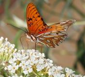 Fritillary do golfo ou borboleta da paixão fotografia de stock