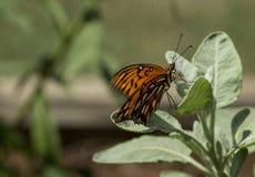 Fritillary do golfo, vanillae de Agraulis, borboleta Imagem de Stock