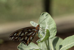 Fritillary do golfo, vanillae de Agraulis, borboleta Imagens de Stock
