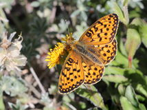 Fritillary on a Flower Stock Images
