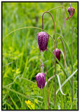 Fritillary flowers growing in an open meadow with lush green grass background Stock Image
