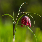 Fritillary (Fritilaria meleagris) Royalty Free Stock Photography