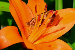 Fritillary butterfly hiding inside orange lily Royalty Free Stock Photos