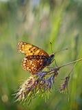 Fritillary manchado (didyma de Melytaea) no por do sol Fotografia de Stock Royalty Free