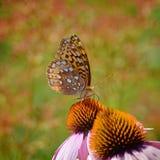 Fritillary motyl Fotografia Royalty Free
