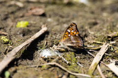 Fritillary motyl bierze sole Obrazy Stock
