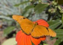fritillary motylia zatoka Obraz Royalty Free