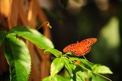 fritillary motylia zatoka Obrazy Royalty Free