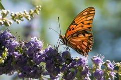 fritillary motylia zatoka Fotografia Stock