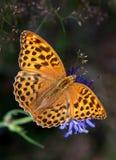Fritillary Plata-lavado en una flor azul Fotografía de archivo libre de regalías