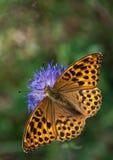 Fritillary Prata-lavado em uma flor de Knautia Fotografia de Stock Royalty Free