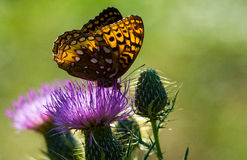 Fritillary on spear thistle Stock Image