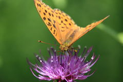 Fritillary on a thistle Royalty Free Stock Images