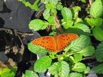 1758 fritillary vanillae linnaeus κόλπων πεταλούδων agraulis Στοκ Φωτογραφίες