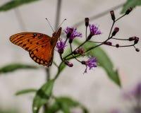1758 fritillary vanillae linnaeus κόλπων πεταλούδων agraulis Στοκ εικόνες με δικαίωμα ελεύθερης χρήσης