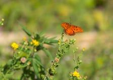 1758 fritillary vanillae linnaeus κόλπων πεταλούδων agraulis Στοκ Εικόνες