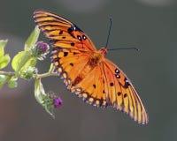 1758 fritillary vanillae linnaeus κόλπων πεταλούδων agraulis Στοκ Εικόνα