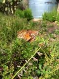 1758 fritillary vanillae linnaeus κόλπων πεταλούδων agraulis Στοκ φωτογραφία με δικαίωμα ελεύθερης χρήσης