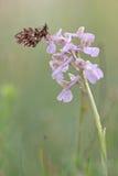 Fritillary wever ` s/dia van magerrasen-Perlmuttfalter/Boloria- Royalty-vrije Stock Foto's
