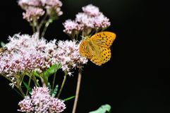 Fritillary Stock Photography