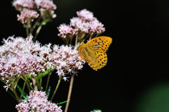 Fritillary Royalty Free Stock Photography