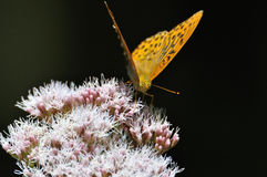 Fritillary Stock Photo