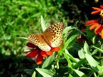 fritillarymormon Royaltyfri Fotografi