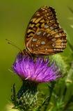 Fritillaryvlinder op spear distel Stock Afbeeldingen