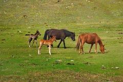Fritt betar i dalarna av de Altai bergen Arkivfoto