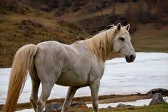 Fritt betar i dalarna av de Altai bergen Royaltyfria Foton