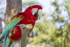Fritt rött arapapegojasammanträde på ett träd i parkera Arkivbild