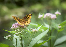 Frittillary Butterfly on Joe Pie Weed. Brightly colored Frittillary butterfly alighting on a Joe Pie Weed bloom near the Batavia Kill in the Catskill Mountains Royalty Free Stock Photography