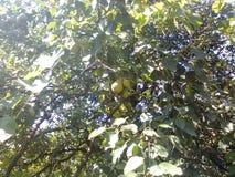 friut drzewo Zdjęcia Stock