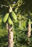 Friut ed albero della papaia Fotografia Stock Libera da Diritti