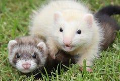frivoloties ferret Стоковое Изображение RF