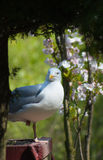 Frivolous Gull (Larus cachinnans) Royalty Free Stock Images