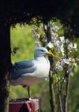 Frivolous Gull (Larus cachinnans) Stock Image